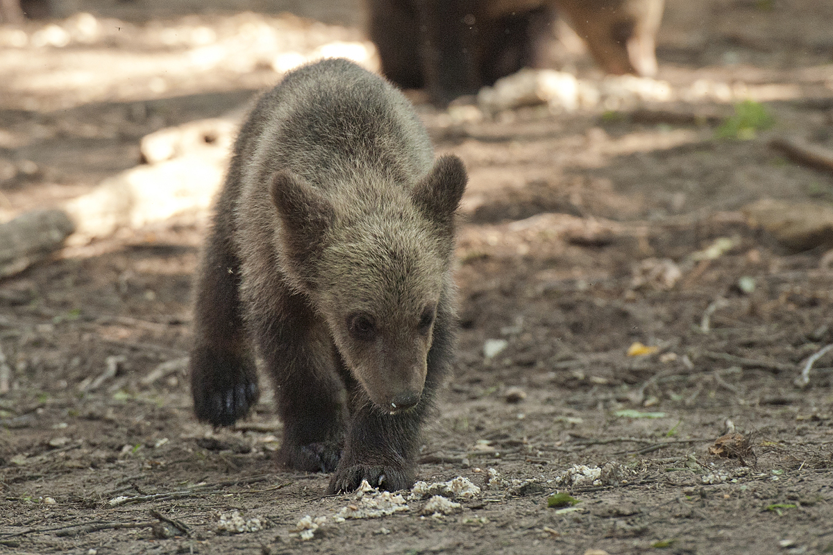 Ответы Mail Ru: а в Карелии медведи водятся?