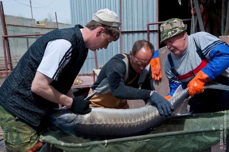Астраханские рыбозаводчики научились доить осетрину CVAVR AVR CodeVision cvavr.ru