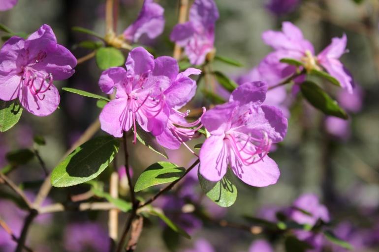 Алтайский цвет