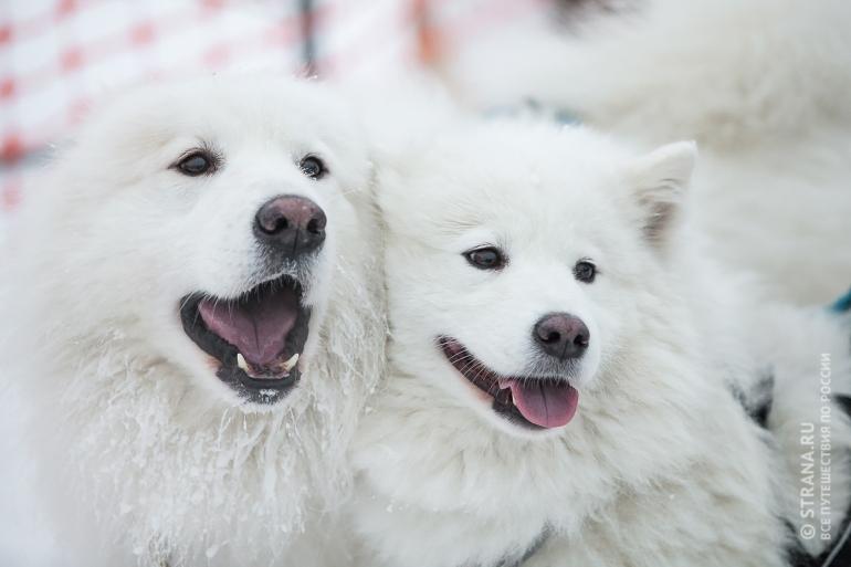 Самоедские собаки на гонках в Карелии. Фото: Евгений Птушка / Strana.Ru. Strana.Ru