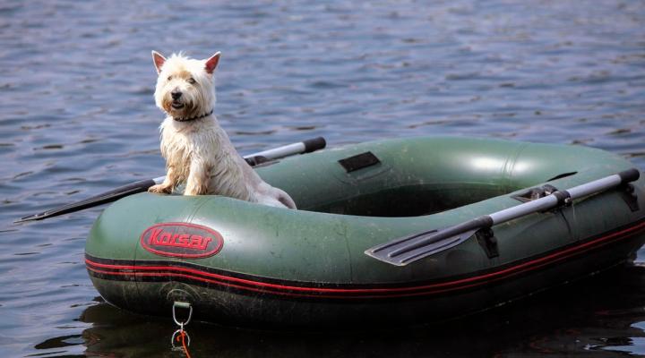 спаниель в лодке