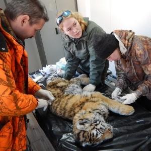 В Приморском крае находят истощённых тигрят